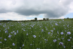 What happened to flax once grown in our fields
